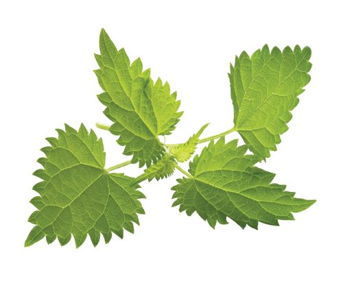 Health Benefits of Nettle Leaf